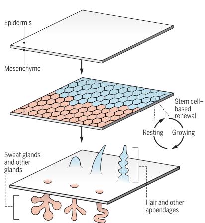태아의 발생과정에서 피부에 부속된 기관의 형태형성이 음양의 관계에 있다는 사실이 밝혀졌다. 즉 BMP신호가 활성화되면(빨간색) 땀샘(포유류)이나 비늘(조류)이 되고 억제되면(파란색) 털이나 깃털이 된다. - K. Sutliff/'사이언스' 제공