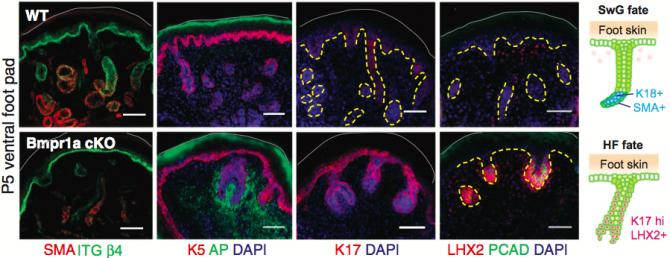 생후 5일차의 생쥐 발바닥 피부의 단면사진이다. 위는 정상 생쥐로 땀샘(SwG) 형태가 보이고 땀샘에서 발현하는 유전자인 SMA가 예상대로 많이 발현돼 있다(맨 왼쪽 사진에서 빨간색). 아래는 BMP신호를 전달하는 유전자가 고장 난 생쥐로 땀샘 대신 모낭(HF) 형태가 보이고 모낭에서 발현하는 K17 유전자의 발현량(왼쪽에서 세 번째 사진에서 빨간색)과 LHX2 유전자의 발현량(맨 오른쪽 사진에서 빨간색)이 많다. - 사이언스 제공