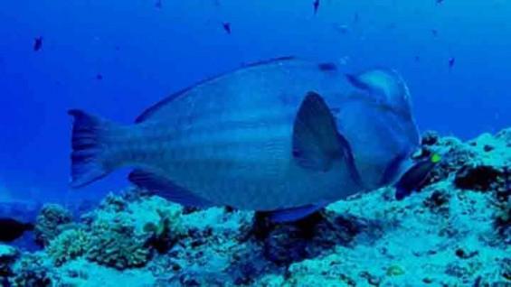 바다에서 2m 덩치의 '버팔로피쉬'를 만난다면?