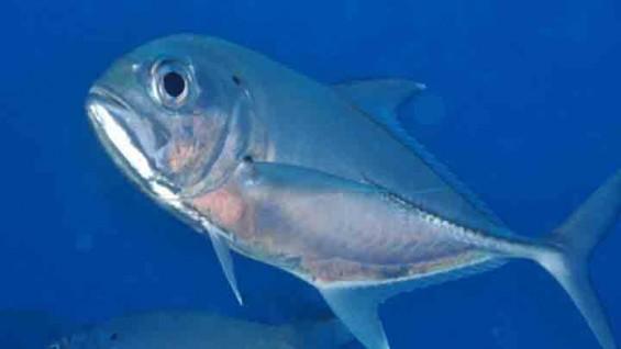 함께 사는 법을 아는 물고기, '잭피쉬'