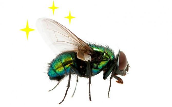 수컷 똥파리는 암컷의 날개에서 보이는 반짝임에 반응한다. 반짝임의 주파수가 178Hz인 경우 이끌린다. - GIB 제공