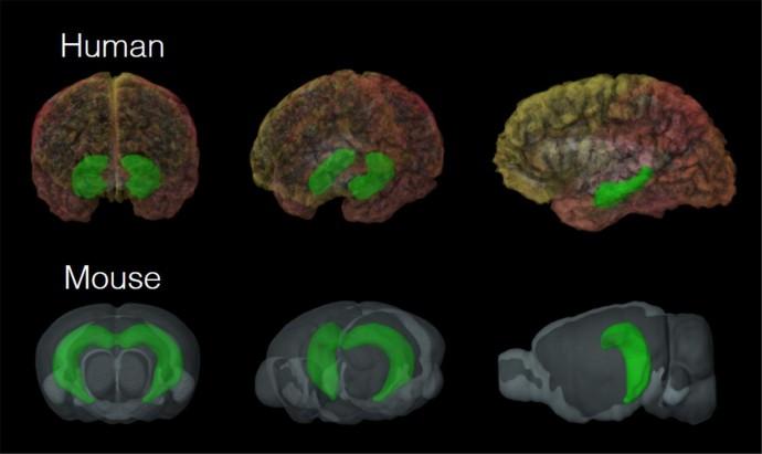 공간적 위치를 파악할 때 사람의 뇌(위)와 쥐의 뇌(아래)가 활성화되는 양상. - KIST 제공