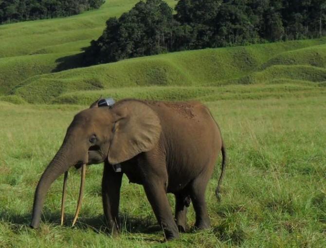 중앙아프리카 가봉에 주로 서식하는 둥근귀코끼리. 밀렵으로 최근 10년 사이 개체 수가 80% 이상 감소해 멸종 위기에 처했다. - 커런트 바이올로지 제공