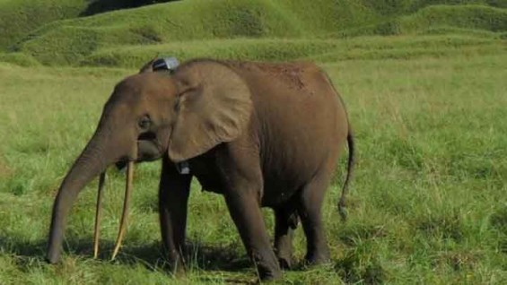 숲 지킴이 둥근귀코끼리, 밀렵으로 10년새 개체 수 80% 감소