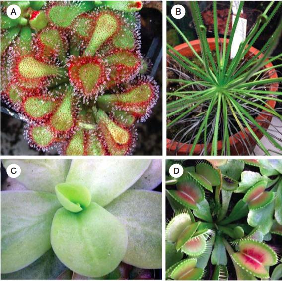 다양한 식충식물. 끈끈이주걱(A), 포르투갈끈끈이주걱(Drosophyllum lusitanicum, B), 벌레잡이제비꽃(Pinguicula gigantea, C), 파리지옥(D). - Annals of Botany 제공