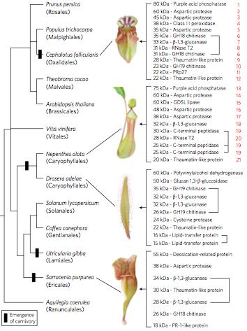 속씨식물의 진화과정에서 여러 차례 독립적으로 식충식물이 등장했다. 속씨식물 계통도의 일부로 식충식물 진화가 네 곳에서 일어났음을 알 수 있다(세로 막대 표시). 이 가운데 네 종(위에서부터 세팔로투스, 네펜시스, 끈끈이주걱, 사라세니아)의 소화효소 관련 유전자와 그 변이를 비교한 결과 수렴진화가 일어났음이 밝혀졌다. - 네이처 생태학&진화 제공