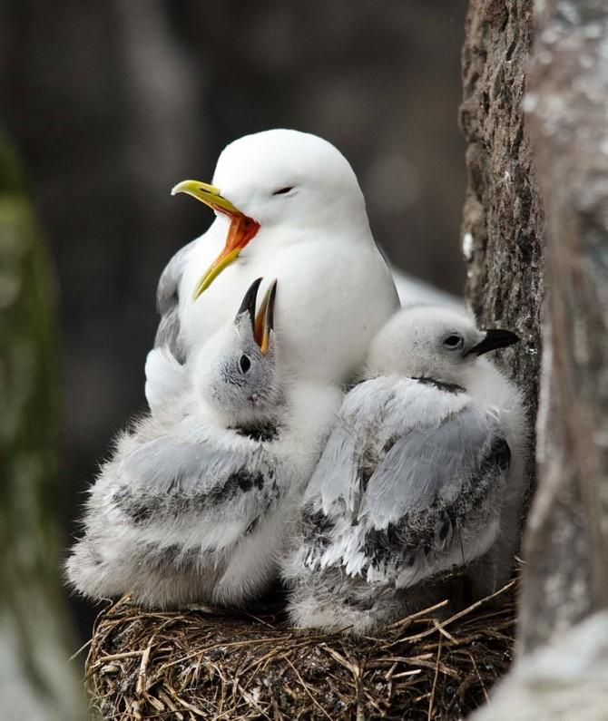 세가락갈매기는 자신의 새끼를 식별하지 못한다. 가파른 절벽에 둥지를 틀기 때문에 100% 자기 새끼일수밖에 없어 굳이 식별할 능력을 지닐 필요가 없기 때문이다. - 위키피이아 제공