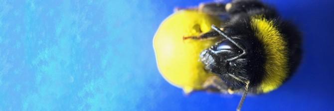 뒤영벌은 공을 특정 지점으로 굴리면 설탕물을 보상으로 받는 학습을 이해할 뿐 아니라 이를 응용해 좀 더 쉬운 길을 찾기도 한다는 사실이 밝혀졌다. - 사이언스 제공