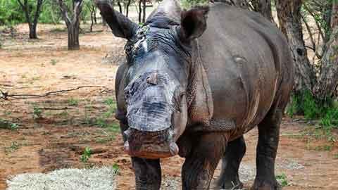 목숨 잃을 뻔, 뿔 잘린 코뿔소 구조돼