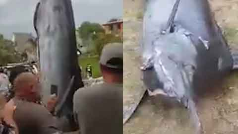 뉴질랜드, 466kg 물고기 잡혀 '화제'