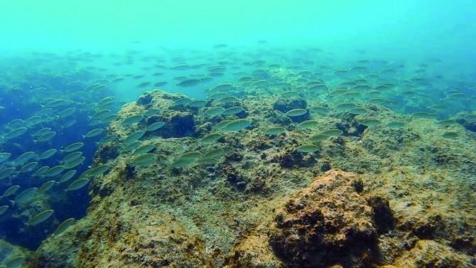 이스라엘 북부에 있는 홍해의 얕은 바닷 속 암초위를 독가시치의 일종인 '래빗피쉬' 떼가 헤엄치고 있다. - TEL AVIV UNIVERSITY 제공