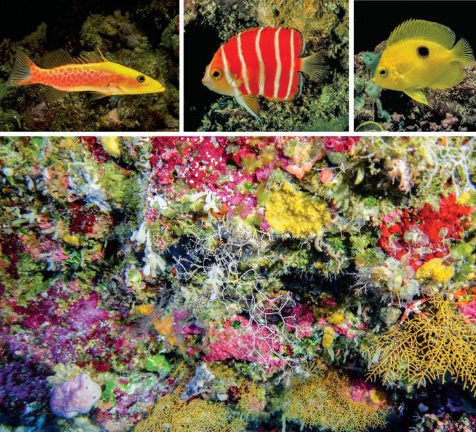 파일 박사가 새롭게 발견한 물고기들, 아래 사진은 트왈라잇 존에서 발견되는 부채뿔 산호(노란색 부채꼴 모양)의 모습이다. - SCIENCE / © SONIA J. ROWLEY, © Richard L. Pyle 제공