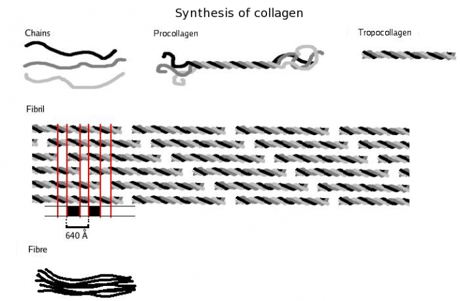 콜라겐섬유는 콜라겐단백질이 여러 단계를 거쳐 만들어진다. 먼저 콜라겐 사슬 세 개가 삼중나선을 이룬다(위). 이 단위가 종횡으로 반복돼 콜라겐원섬유를 만들고(가운데), 원섬유 여러 가닥이 모여 콜라겐섬유가 된다(아래). - 위키피디아 제공