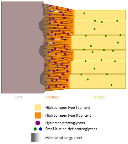 힘줄뼈부착부위 부근을 도식화한 그림으로 왼쪽부터 뼈, 경계면(힘줄뼈부착부위), 힘줄이다. 최근 연구결과 힘줄뼈부착부위는 강력한 접착력을 내는데 최적화하기 위해 힘줄과 콜라겐섬유의 구조뿐 아니라 조성도 다르다는 사실이 밝혀졌다. 그림 아래 설명은 위로부터 유형1 콜라겐 함량이 높은 섬유, 유형2 콜라겐 함량이 높은 섬유, 히알렉탄 단백당, SLRP(단백당의 일종), 석회화 정도다. - 네이처 재료 제공