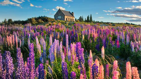 뉴질랜드의 파란 하늘과 루핀 꽃밭
