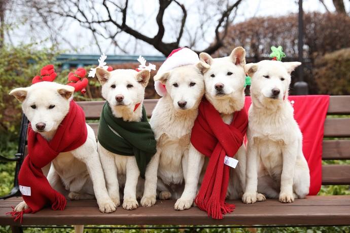 이제는 일반인에게 분양된 새롬이, 희망이의 첫 새끼들. 당시 크리스마스를 맞아 기념 촬영을 했다.  - 박근혜 전 대통령 페이스북 제공