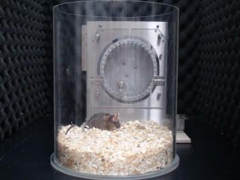 전극을 삽입한 쥐의 수면 중 뇌파 변화를 관측하는 실험 모습. - KIST 제공