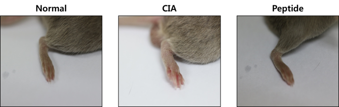 류마티스 관절염이 걸린 쥐(가운데)는 일반 쥐(왼쪽)에 비해 발이 부은 현상이 뚜렷이 보인다. 하지만 펩타이드 약물을 투여하자(오른쪽) 증상이 정상 수준으로 회복했다. - 아주대 제공
