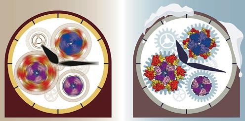 '남세균(시아노박테리아)'의 생체시계는 세 가지 종류의 단백질로 이뤄져 있다. 국제 연구진은 반응속도를 늦추기 위해 이들 단백질이 섞인 용액을 냉장고에 넣어 온도를 섭씨 4도까지 내린 뒤, 정밀 관찰한 결과로 남세균 생체시계의 작동 과정을 규명했다. - 사이언스 제공