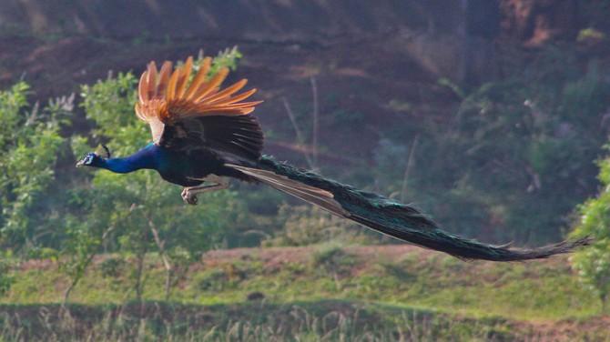 논 위를 날고 있는 수컷 공작새. 공작새가 거추장스러운 긴 꼬리를 가지고 있는 이유는 짝짓기와 관련된 성 선택 때문이다. 일부 연구자들은 인간의 높은 지능, 그리고 심지어는 예술적 강박도 이러한 공작 꼬리와 비슷한 기능을 할 것이라고 생각하고 있다. - Servophbabu 제공