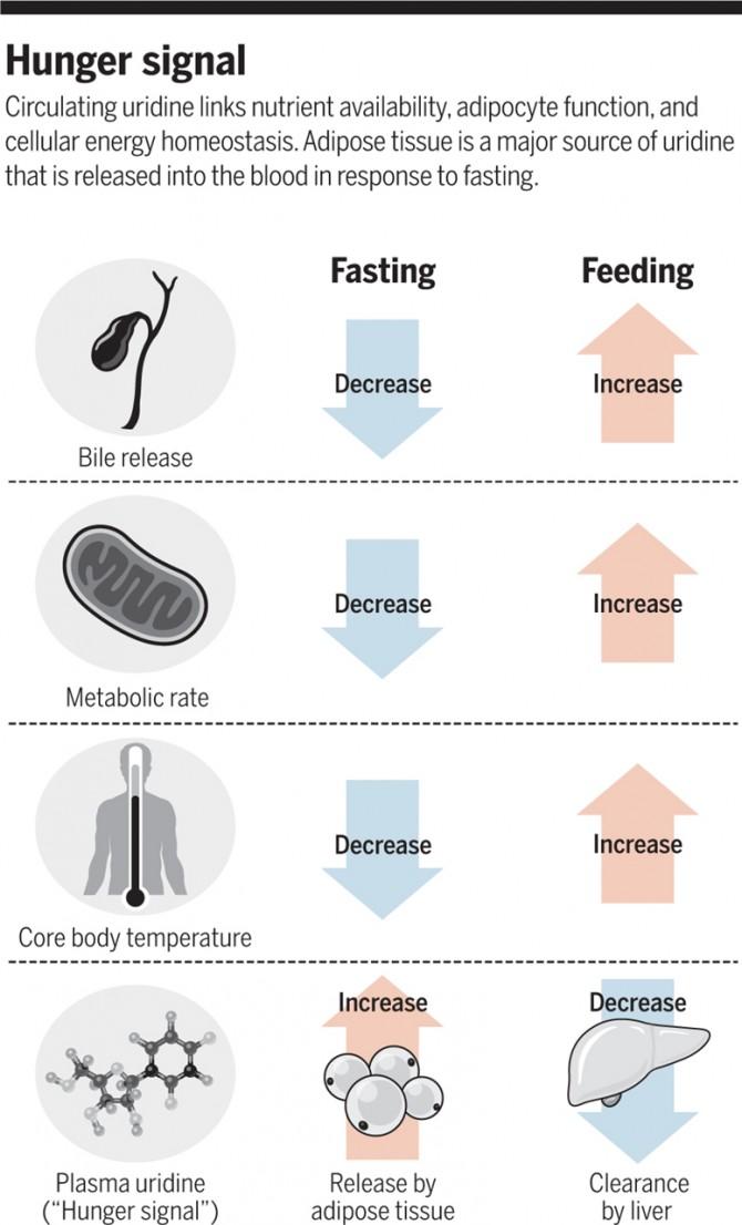 RNA를 만드는 재료 가운데 하나인 우리딘(uridine)이 '굶주림 신호분자'라는 사실이 밝혀졌다. 즉 먹이를 먹지 못한 생쥐의 지방세포에서 우리딘이 분비돼 혈중 수치가 높아지면 답즙 분비가 줄고 미토콘드리아의 세포호흡이 떨어지고 체온이 내려가 에너지 소모를 줄인다. 또 식욕억제호르몬으로 알려진 렙틴이 우리딘의 작용을 견제하며 세포의 에너지 항상성 유지에 기여한다는 것으로 드러났다. - 사이언스 제공