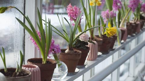 [사이언스 지식IN] 봄꽃 앞다퉈 피는데… 우리 집 화분은 왜 아직 겨울잠?