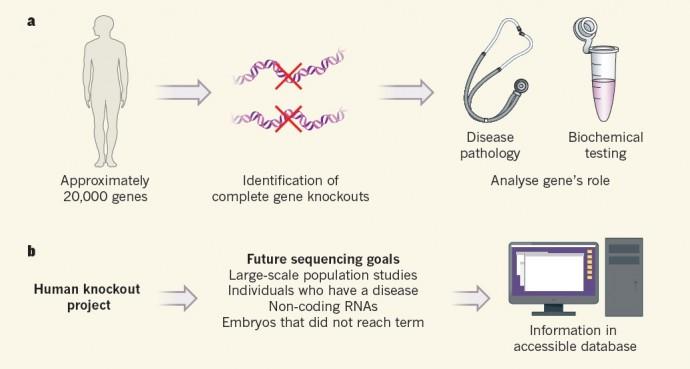 통상적 유전자 기능 연구(a)는 약 2만 여개 사람의 유전자를 '크리스퍼 유전자가위' 같은 유전자교정 기술을 이용해 제거한 뒤 기능변화를 살피는 식으로 진행됐다. '휴먼 녹아웃 프로젝트' 연구진은 이와 달리 돌연변이를 가진 인구를 찾아 기능을 분석하는 방식을 택했다(b). - 네이처 제공