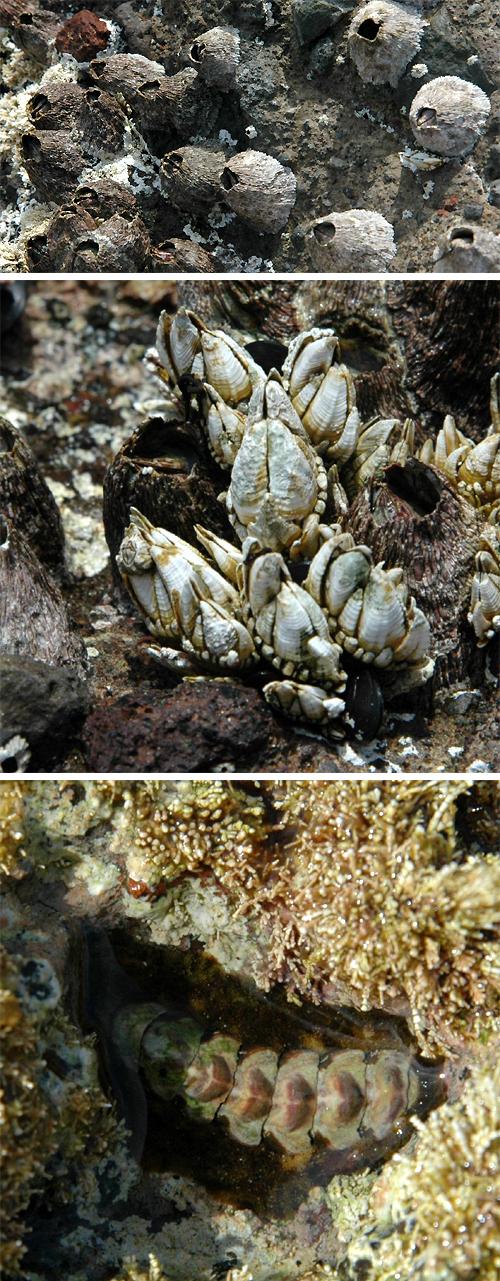 독도는 다양한 해양무척추동물들로 풍성한 생태계를 이루고 있다. 검은큰따개비(첫번째 사진), 거북손(두번째 사진), 비단군부. - 김종성 교수 제공 제공