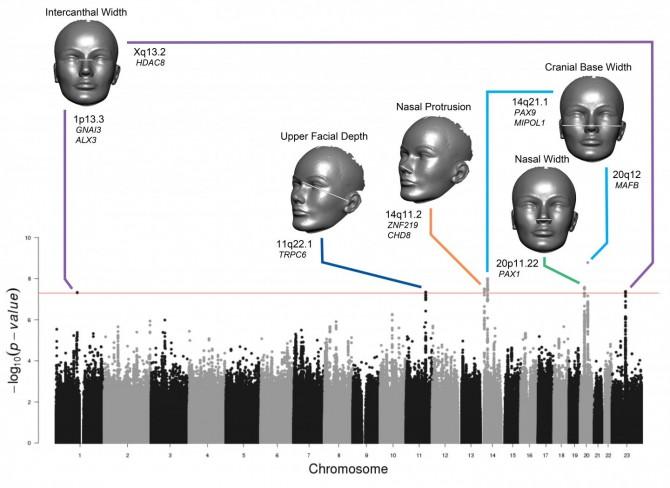 얼굴을 20가지 거리로 측정한 뒤 게놈의 변이와 연관성을 조사한 결과 5가지 거리에서 염색체 7곳의 변이가 연관돼 있는 것으로 밝혀졌다. 왼쪽부터 양안 간격, 위 얼굴 깊이, 콧방울에서 코끝까지 거리, 코 넓이, 두개골 넓이다. 각각에 연관된 염색체 상의 위치와 유전자 후보가 표시돼 있다. - 플로스 유전학 제공