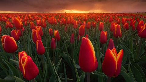 네덜란드의 불타는 튤립 꽃밭 '인기'
