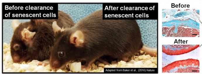 퇴행성관절염에 걸린 쥐(오른 쪽)와 신약 후보물질을 투여받은 쥐(오른쪽). 약물 치료 후(아래 사진) 관절의 상태가 치료 전(위 사진)에 비해 건강하다. - UNIST 제공