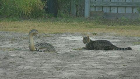방울뱀을 맞선 용감한 고양이
