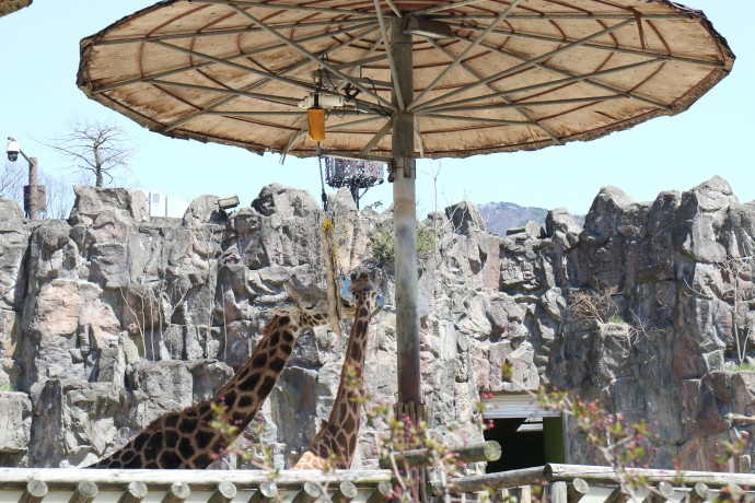 동물원의 대표 마스코드 동물 중 하나인 기린. 소음에 예민한 기린이지만 동물원은 나들이객의 소음으로 항상 가득 차 있다. - 과천=신수빈 기자 sbshin@donga.com 제공