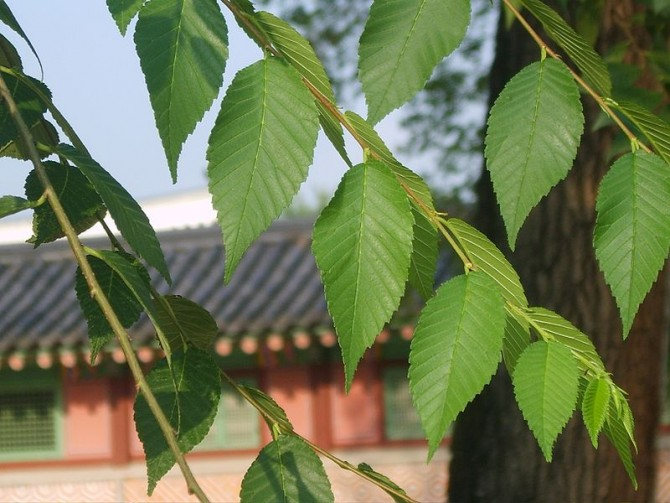 2016년 중국 베이징임학대 연구자들이 조사한 나무 28종 가운데 비술나무가 초미세먼지 제거 능력이 가장 뛰어난 것으로 밝혀졌다. 경복궁에 있는 비술나무. - 위키피디아 제공