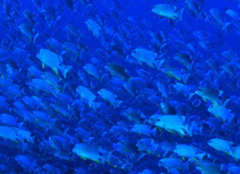 [팔라우에서 온 힐링레터]푸른 바다 속 도미들의 집단 애정행각 목격했다!