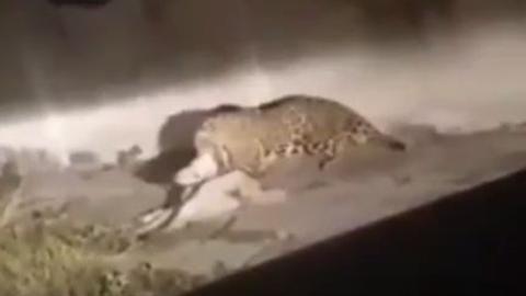재규어가 개를 공격하는 장면 '포착'