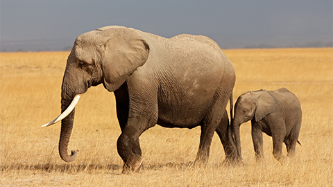 코끼리가 초속 6cm로 똥 누는 비결은?