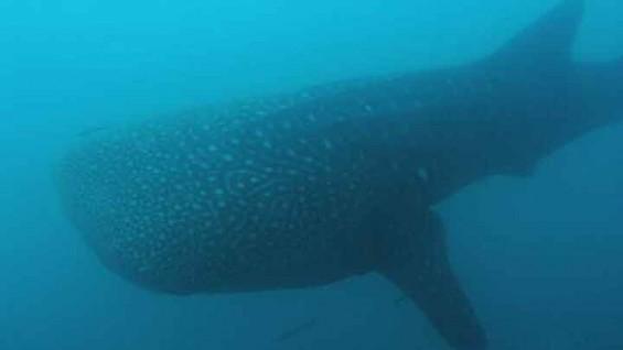 물 속에서 거대하고 온순한 '고래상어'를 만났다!
