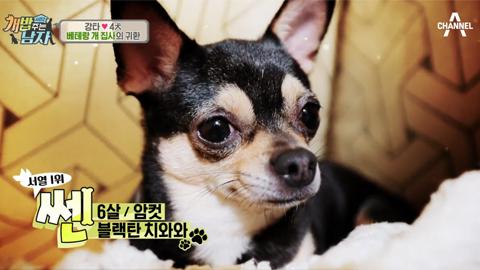 [백개사전 05] 개밥남 강타가 키우는 '치와와'는 어떤 개?