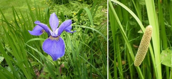 인터넷에서 창포를 검색하면, 매혹적인 파란 꽃이 눈에 띠는 꽃창포(왼쪽)가 나오는데 붓꽃과의 꽃창포와 단오 때 사용하는 청남성과의 창포는 전혀 다른 식물입니다. 단옷날 때 쓰는 창포는 줄기는 벼와 닮았고 강아지풀과 닮은 꽃을 피웁니다.) - pixabay 제공