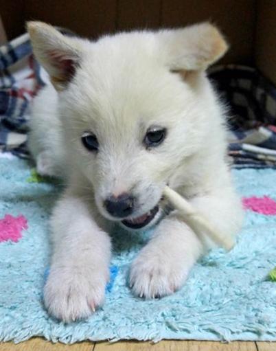 속설에 귀가 선 강아지는 진돗개, 귀가 접힌 강아지는 풍산개는 이야기가 있는 그렇다면, 이 개는 진돗개일까, 풍산개일까. 아이고 의미없다. - 오가희 기자 solea@donga.com 제공