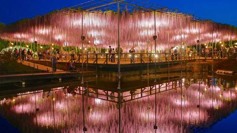 일본의 등나무꽃 공원 '화제'