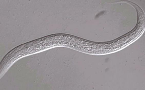 산소운반 필수 단백질, 예쁜꼬마선충이 '헴' 농도를 유지하는 방법
