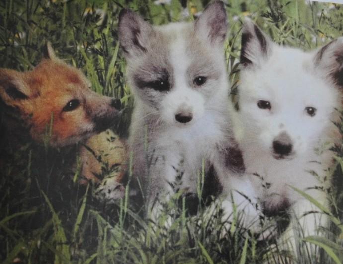 여우개 강아지들. 수년 전부터 육종 선별에 탈락한 여우개들을 일반인에게 분양하고 있다. - Irena Pivovarova 제공