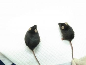 김치 유산균을 먹은 쥐(왼쪽)와 먹지 않은 쥐. 두 마리 모두 고지방 음식을 먹었지만 유산균을 섭취한 쥐는 체중과 지방량 증가가 현저히 적었다. - 세계김치연구소 제공