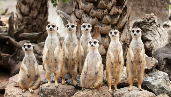 미어캣은 냄새를 이용해 주변의 위험을 서로에게 알리는등 집단행동을 한다. - GIB 제공