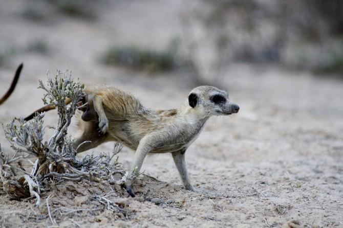 남아프리카 칼라하리 사막 쿠루만강에 사는 미어캣이 꼬리아래 주머니에서 나오는 냄새를 주변 풀에 묻히고 있다 - 미국 듀크대 제공
