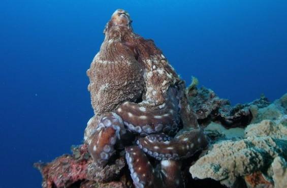 [팔라우에서 온 힐링레터] 바다의 마술사 '문어'를 본 적이 있나요?