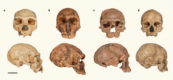 현생인류와 네안데르탈인은 대략 60만 년 전 공통조상에서 갈라진 뒤 각자 진화의 길을 걸었는데 그 과정이 비슷하다. 즉 얼굴 윤곽의 진화가 먼저 일어나고 나중에 뇌가 커지는 진화가 일어났다. 왼쪽부터 스페인 시마데로스우에소스에서 발굴된 약 43만 년 전 네안데르탈인, 프랑스 라페라시에서 발굴된 6만~4만 년 전 네안데르탈인, 모로코 제벨 이르후드에서 발굴된 35만~28만 년 전 호모 사피엔스, 프랑스 아브리빠또에서 발굴된 약 2만 년 전 호모 사피엔스다. 후기 호모 사피엔스의 머리 형태가 꽤 다름을 알 수 있다. - 네이처 제공