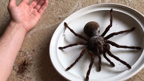 세계 최대의 거미?